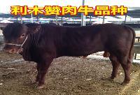 纯种黄牛种养殖场