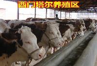 西门塔尔杂交牛