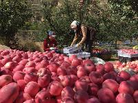 今日红富士苹果价格@红富士苹果批发价格详细分析