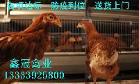河北青年鸡价格 河北青年鸡厂家直销