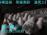 海兰灰青年鸡,湖北青年鸡,武汉青年鸡