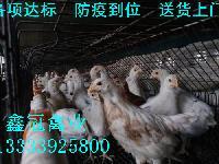 海兰灰蛋鸡|海兰灰青年鸡|海兰灰鸡苗