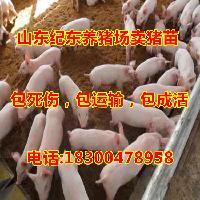 山东猪苗价格三元仔猪批发基地供应仔猪