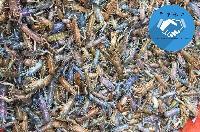 鱼苗批发 澳洲淡水龙虾 澳龙 虾苗