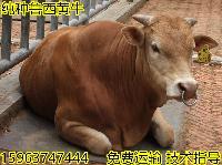 商洛肉牛犊日常吃什么料